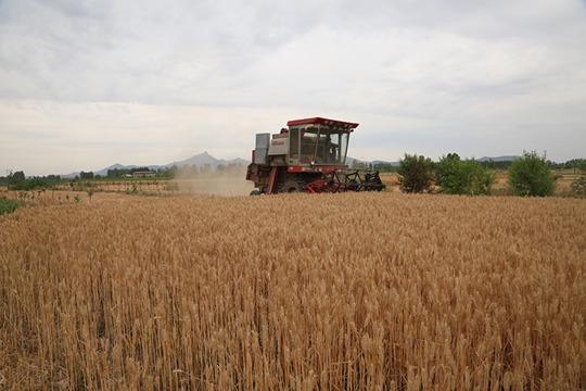 天晴好收麦 河南驻马店小麦开始收割