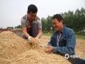 中国天气网讯 5月28日,河南驻马店市驿城区的小麦开始收割,刘阁办事处单高楼村村民趁着天晴正在抢收麦子。(图文/邓国勇)