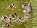 """小鸟也过""""儿童节"""" 太阳岛鸳鸯妈妈和小宝宝萌态百出"""