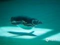世界杯手机投注平台天气网讯 麦哲伦企鹅生活在南美阿根廷、智利沿海地区的近海小岛上。生性顽皮,动作笨拙滑稽。北京的夏季正是南美洲的冬季,想想都凉快呢!暑热天气里,在北京动物园企鹅馆看看它们给眼睛降降温是不错的选择!(图/王晓)