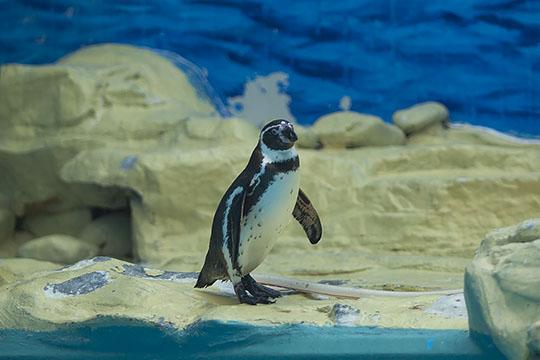 北京动物园:呆萌企鹅水中畅游憨态可掬