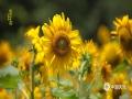 中国天气网讯 北京及周边地区的向日葵已经亭亭玉立,大有初长成的挺拔身姿了。不用去原野,北京城区内也能看到向日葵!图中向日葵拍摄于北方交通大学校园内 (图/王晓)