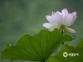 中国天气网讯 接天莲叶无穷碧,映日荷花别样红。雨后的夏季,荷塘里的荷花绽蕾盛开,在一片青翠碧绿中显得格外娇艳鲜红。(图/余叶芳 文/邬巧琛)
