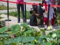 2017年,圆明园内如园遗址考古发掘过程中发现了11颗古莲子。经中国科学院植物研究所进行培育,有6颗古莲子在埋藏百年后成功发芽,今年4月移出温室种植在圆明园荷花基地后,近期成功绽放。(图/王晓)
