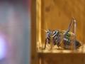 三伏話鳴蟲:表情各異的蟈蟈