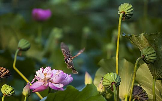 大暑清晨雨后荷 俏皮麻雀跳花蕊