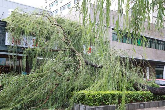 山西太原瞬間風力7級 大樹被連根拔起