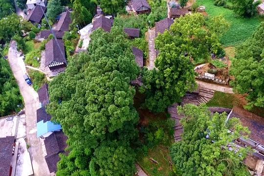 历经千年风雨仍屹立不倒 俯瞰世界最大千年金丝楠木群