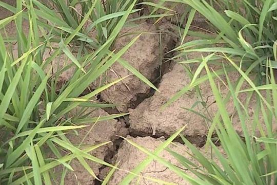 湖北广水遭遇旱情 土地龟裂农作物干枯