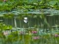 北京中坞公园:水鸟戏荷画意浓