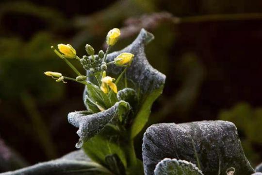 内蒙古呼伦贝尔现初霜冻 农作物受损