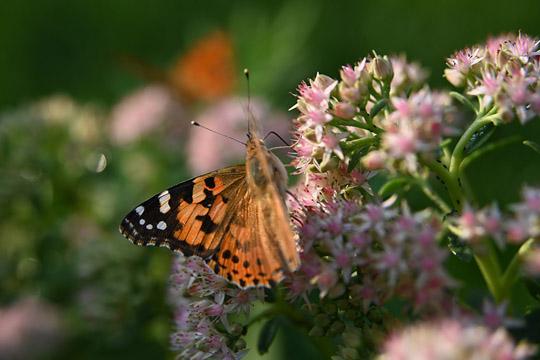 秋日的鲜艳色彩 蜂蝶同戏八宝景天