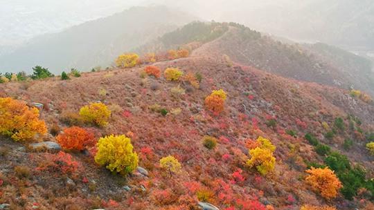 多彩秋日 河北围场迎来彩叶最佳观赏期