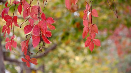 山东威海:秋凉催叶红