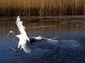 鹤舞深秋游人醉 扎龙湿地丹顶鹤翱翔蓝天