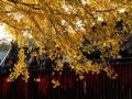 西安:初冬时节古观音禅寺银杏落叶纷纷