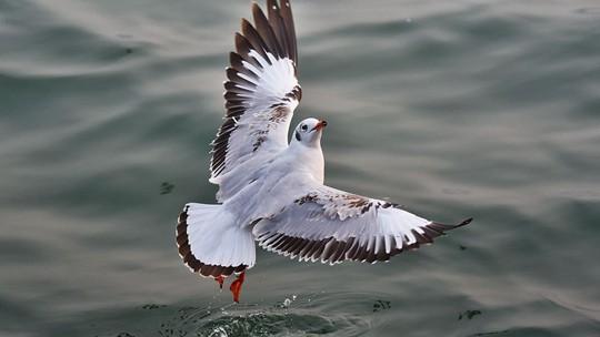 重慶豐都:紅嘴鷗隨心飛翔 踏波而舞
