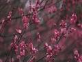 贵阳深冬沐暖阳 暗香浮动梅花红