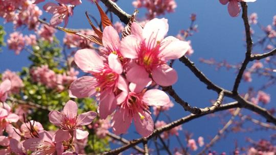 太美了!云南冬樱花绚丽绽放