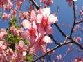 太美了!云南冬樱花绚丽绽放 美景如画