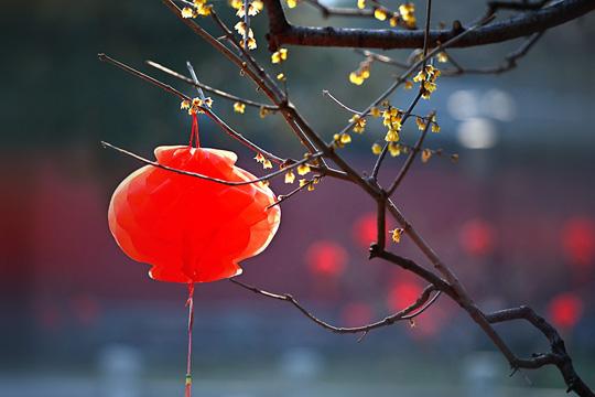 北京卧佛寺 万朵蜡梅静放待春时