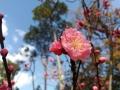 云南保山梅花绽放 暖阳照射下色彩艳丽