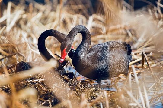 京城天气晴暖 黑天鹅颐和园湖边共筑爱巢
