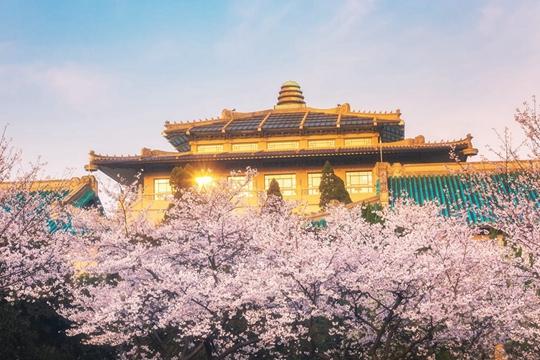 一组图寻找记忆中武汉大学最美的樱花