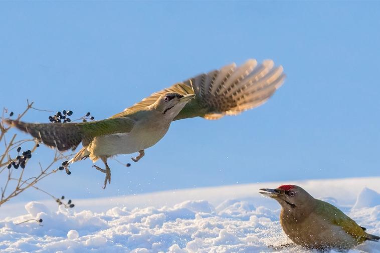 长白山千里冰封 鸟儿自在嬉戏觅食忙
