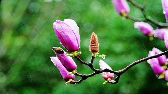 江苏无锡:紫玉兰蒙蒙烟雨中绽放