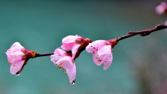 云南贡山桃花盛开春意浓