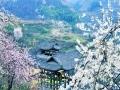 貴州銅仁:櫻花爛漫 醉美鄉村