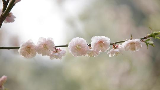 北京紫竹院公园:春梅盛放筠石苑