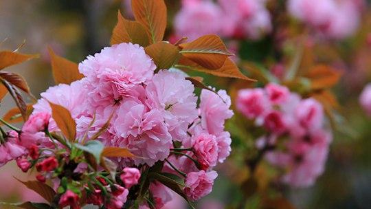 湖南武岡:晚櫻盛開 粉粉嫩嫩