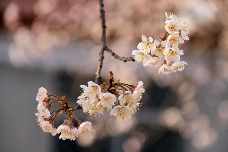 花团锦簇 山东农家樱桃花妆点田园春色