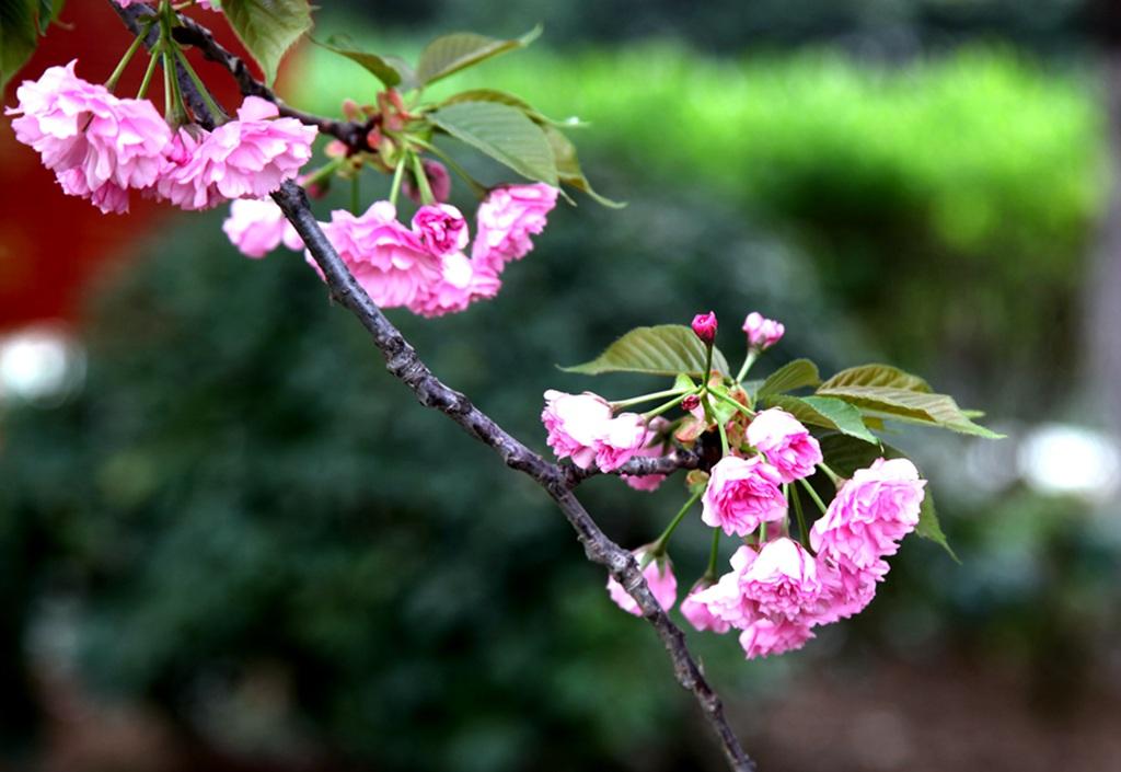 雨后樱花更娇媚 西安大明宫赏花正当时
