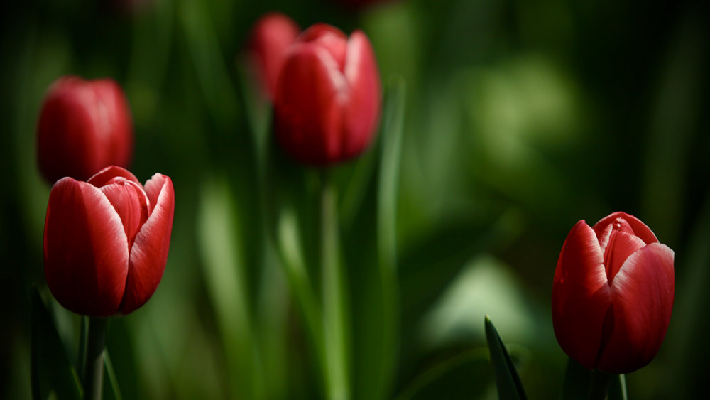 梅花盛放花将尽 郁金香含苞续春时