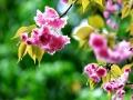 湖南武冈:漫步雨中赏樱花 娇媚百态惹人爱