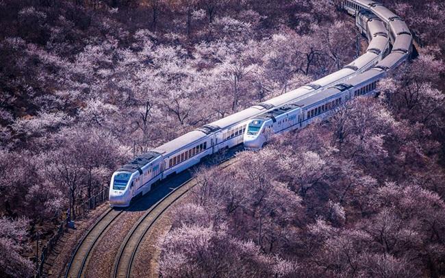北京居庸关桃杏绽放 列车穿越花海