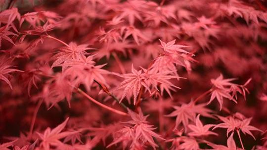 四川雅安:春季红枫萌新芽