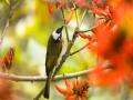 重庆刺桐花火红绽放 鸟语花香惹人爱
