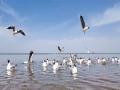 青海湖開湖 引數百只棕頭鷗嬉鬧迎春