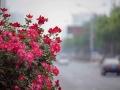 北京月季惊艳盛放 扮靓京城大街小巷