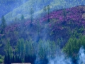 內蒙古大興安嶺:杜鵑花漫山綻放 不負春時