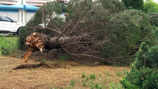 风雨过后 山东威海树倒河水涨