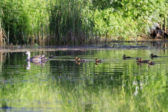初夏清晨水塘边 斑嘴鸭宝宝萌态惹人爱