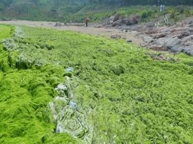 滸苔再度入侵青島 大片綠潮似草地