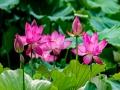 陕西西安:翠绿莲叶中夏荷盛放 荷香阵阵