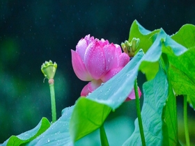 重庆华岩寺:雨中荷花更显娇艳