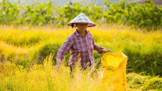 广东早稻成熟 农民不惧暑热收割忙